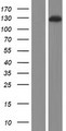 FARP2 / FRG Protein - Western validation with an anti-DDK antibody * L: Control HEK293 lysate R: Over-expression lysate