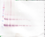 FGF7 / KGF Antibody - Anti-Human KGF (FGF-7) Western Blot Unreduced