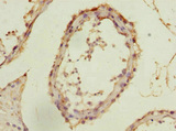 Immunohistochemistry of paraffin-embedded human testis at dilution 1:100