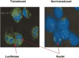 Detection of luciferase expression in CD34+ cells by immunohistochemistry. Cytospin slides prepared from transduced CD34+ cells after 3 days of culture were stained with monoclonal anti-luciferase antibody. Luciferase-positive cells have green cytoplasm; nuclei stained with DAPI are blue. Non-transduced, cultured CD34+ cells were used as a negative control. Original magnification, x 40. Wang, X. et al., Dynamic tracking of human hematopoietic stem cell. Blood. 102(10): 3478-3482, 2003.
