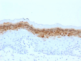 FLG / Filaggrin Antibody - IHC testing of FFPE human skin with Filaggrin antibody (clone FLG/1561). Required HIER: boil tissue sections in 10mM citrate buffer, pH 6, for 10-20 min.