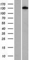 FNIP1 Protein - Western validation with an anti-DDK antibody * L: Control HEK293 lysate R: Over-expression lysate