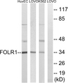 FOLR1 / Folate Receptor Alpha Antibody - Western blot analysis of lysates from K562, LOVO, and HUVEC cells, using FOLR1 Antibody. The lane on the right is blocked with the synthesized peptide.