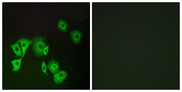 Immunofluorescence analysis of A549 cells, using TTF2 Antibody. The picture on the right is blocked with the synthesized peptide.