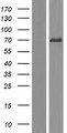 FRMD1 Protein - Western validation with an anti-DDK antibody * L: Control HEK293 lysate R: Over-expression lysate