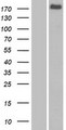 FRMPD1 Protein - Western validation with an anti-DDK antibody * L: Control HEK293 lysate R: Over-expression lysate