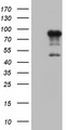 FSIP1 Antibody - HEK293T cells were transfected with the pCMV6-ENTRY control (Left lane) or pCMV6-ENTRY FSIP1 (Right lane) cDNA for 48 hrs and lysed. Equivalent amounts of cell lysates (5 ug per lane) were separated by SDS-PAGE and immunoblotted with anti-FSIP1.