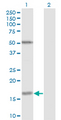 Western Blot analysis of FUT2 expression in transfected 293T cell line by FUT2 monoclonal antibody (M02), clone 4C12.Lane 1: FUT2 transfected lysate(17.5 KDa).Lane 2: Non-transfected lysate.