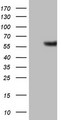 GABRA5 Antibody - HEK293T cells were transfected with the pCMV6-ENTRY control (Left lane) or pCMV6-ENTRY GABRA5 (Right lane) cDNA for 48 hrs and lysed. Equivalent amounts of cell lysates (5 ug per lane) were separated by SDS-PAGE and immunoblotted with anti-GABRA5.