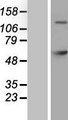 GAD65 Protein - Western validation with an anti-DDK antibody * L: Control HEK293 lysate R: Over-expression lysate