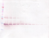GDNF Antibody - Biotinylated Anti-Human GDNF Western Blot Unreduced