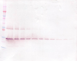 Biotinylated Anti-Human GDNF Western Blot Unreduced