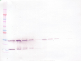 GDNF Antibody - Anti-Human GDNF Western Blot Reduced