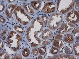 IHC of paraffin-embedded Human Kidney tissue using anti-GPHN mouse monoclonal antibody.