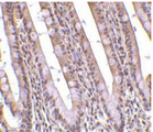 Gestrinone Antibody - Immunohistochemical staining of PHAP in human small intestine with PHAP antibody at 10µg/ml.