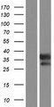 GIMAP6 Protein - Western validation with an anti-DDK antibody * L: Control HEK293 lysate R: Over-expression lysate