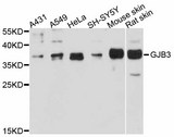 GJB3 / CX31 / Connexin 31 Antibody - Western blot analysis of extracts of various cell lines.