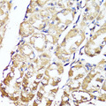 Immunohistochemistry of paraffin-embedded human stomach using GKN1 antibody at dilution of 1:150 (40x lens).