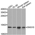 GNG10 Antibody - Western blot analysis of extracts of various cells.