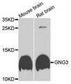 GNG3 Antibody - Western blot analysis of extracts of various cells.