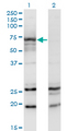 Western Blot analysis of MGAT3 expression in transfected 293T cell line by MGAT3 monoclonal antibody (M01), clone 2G4.Lane 1: MGAT3 transfected lysate (Predicted MW: 61.3 KDa).Lane 2: Non-transfected lysate.