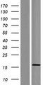 GOLT1A Protein - Western validation with an anti-DDK antibody * L: Control HEK293 lysate R: Over-expression lysate