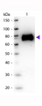 gox / Glucose Oxidase Antibody - Western Blot of Goat anti-Glucose Oxidase antibody. Lane 1: Glucose Oxidase. Lane 2: None. Load: 50 ng per lane. Primary antibody: Glucose Oxidase antibody at 1:1,000 for overnight at 4°C. Secondary antibody: Peroxidase goat secondary antibody at 1:40,000 for 30 min at RT. Block: MB-070 for 30 min at RT. Predicted/Observed size: 65-70 kDa, 65-70 kDa for Glucose Oxidase. Other band(s): None.