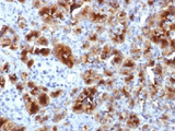 GP2 Antibody - IHC testing of FFPE human pancreas with GP2 antibody (clone GP2/1712). HIER: boil tissue sections in 10mM Tris with 1mM EDTA, pH 9, for 10-20 min.