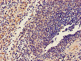 GP9 / CD42a Antibody - Immunohistochemistry image of paraffin-embedded human spleen tissue at a dilution of 1:100