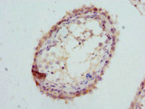 GPD2 Antibody - Immunohistochemistry of paraffin-embedded human testis at dilution 1:100