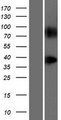 GPR148 Protein - Western validation with an anti-DDK antibody * L: Control HEK293 lysate R: Over-expression lysate