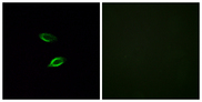 GPR157 Antibody - Immunofluorescence analysis of HUVEC cells, using GPR157 Antibody. The picture on the right is blocked with the synthesized peptide.