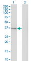 GPS2 Antibody - Western Blot analysis of GPS2 expression in transfected 293T cell line by GPS2 monoclonal antibody (M01), clone 3C4.Lane 1: GPS2 transfected lysate (Predicted MW: 36.7 KDa).Lane 2: Non-transfected lysate.