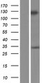 GRIP2 Protein - Western validation with an anti-DDK antibody * L: Control HEK293 lysate R: Over-expression lysate