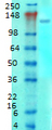 GRM1a / GRM5 Antibody - Western blot analysis of mGluR1-5 in rat brain membrane tissues, using a 1:1000 dilution of GRM1a / GRM5 antibody.  This image was taken for the unconjugated form of this product. Other forms have not been tested.