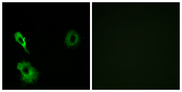 GRM7 / MGLUR7 Antibody - Immunofluorescence analysis of A549 cells, using GRM7 Antibody. The picture on the right is blocked with the synthesized peptide.