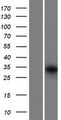 GRXCR1 Protein - Western validation with an anti-DDK antibody * L: Control HEK293 lysate R: Over-expression lysate