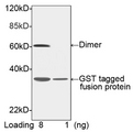 GST Tag Antibody - Western blot of GST-tagged fusion protein using GST-tag Antibody [Biotin], pAb, Rabbit (GST-tag Antibody [Biotin], pAb, Rabbit, 1 ug/ml) The signal was developed with Streptavidin-HRP and LumiSensor HRP Substrate Kit Predicted Size: 31 kD Observed Size: 31 kD, 62 kD This image was taken for the unconjugated form of this product. Other forms have not been tested.