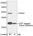 GST Tag Antibody - Western blot of GST-tagged fusion protein using GST-tag Antibody [HRP], pAb, Goat (1 ug/ml). . Predicted Size: 31 kD. Observed Size: 31 kD, 62kD. This image was taken for the unconjugated form of this product. Other forms have not been tested.