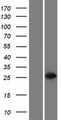 GSTT2B Protein - Western validation with an anti-DDK antibody * L: Control HEK293 lysate R: Over-expression lysate
