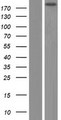 GTF3C1 Protein - Western validation with an anti-DDK antibody * L: Control HEK293 lysate R: Over-expression lysate