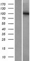 GTF3C3 Protein - Western validation with an anti-DDK antibody * L: Control HEK293 lysate R: Over-expression lysate
