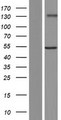 GXYLT2 Protein - Western validation with an anti-DDK antibody * L: Control HEK293 lysate R: Over-expression lysate