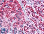 Anti-HADHB antibody IHC of human adrenal. Immunohistochemistry of formalin-fixed, paraffin-embedded tissue after heat-induced antigen retrieval. Antibody concentration 5 ug/ml.  This image was taken for the unconjugated form of this product. Other forms have not been tested.