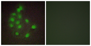 HAND1 Antibody - Immunofluorescence analysis of A549 cells, using HAND1 Antibody. The picture on the right is blocked with the synthesized peptide.