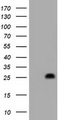 HEK293T cells were transfected with the pCMV6-ENTRY control (Left lane) or pCMV6-ENTRY HES6 (Right lane) cDNA for 48 hrs and lysed. Equivalent amounts of cell lysates (5 ug per lane) were separated by SDS-PAGE and immunoblotted with anti-HES6.