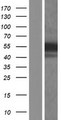 HFH-4 / FOXJ1 Protein - Western validation with an anti-DDK antibody * L: Control HEK293 lysate R: Over-expression lysate