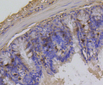 Immunohistochemistry of paraffin-embedded mouse colon tissue.