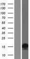 HIST2H2AA4 Protein - Western validation with an anti-DDK antibody * L: Control HEK293 lysate R: Over-expression lysate