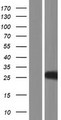 Histone H1t Protein - Western validation with an anti-DDK antibody * L: Control HEK293 lysate R: Over-expression lysate